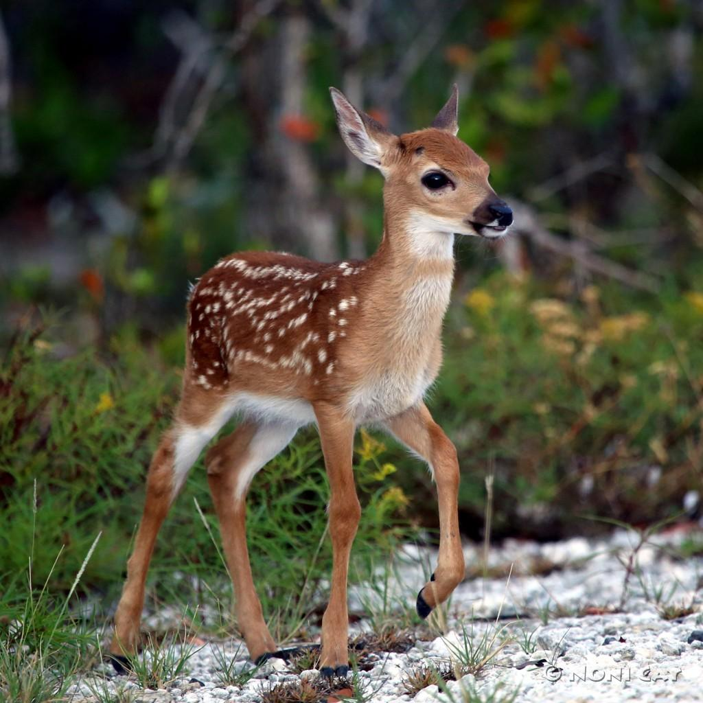 baby whitetail fawn in - photo #24